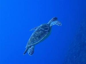 沖縄ダイビング慶良間諸島ウミガメ