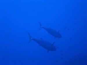 沖縄ダイビング慶良間諸島イソマグロ